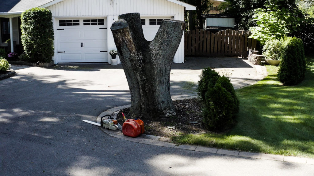 Silver Maple Tree stump